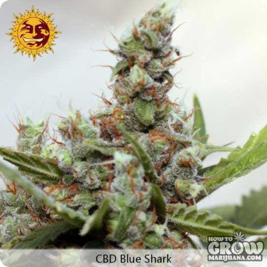 Barney's Farm CBD Blue Shark Feminized Seeds