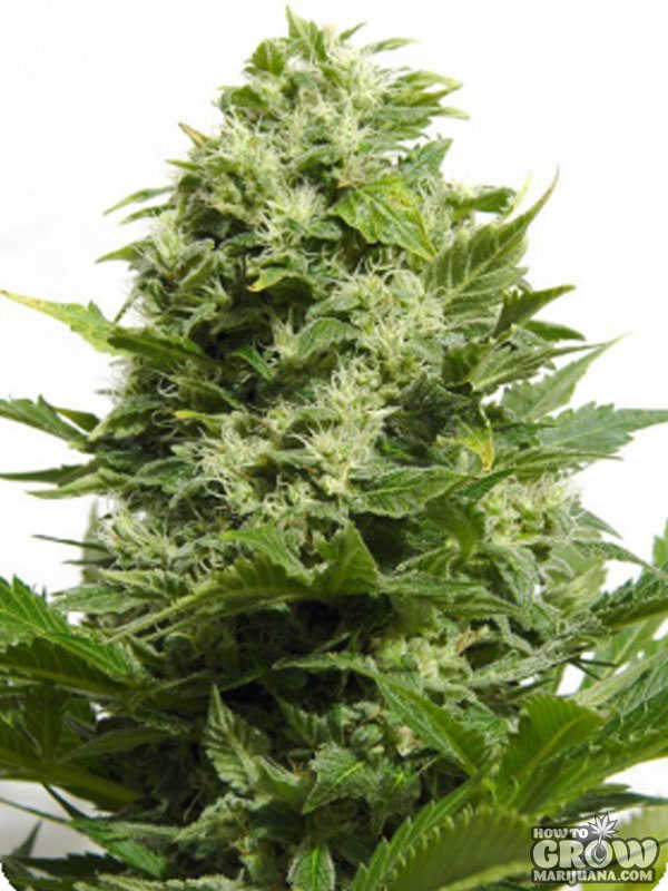 Big Buddha Blue Cheese Automatic Feminized Seeds