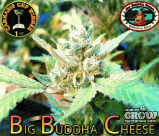 Big Buddha Original Cheese