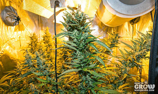 Cannabis Flourishing in Grow Tent