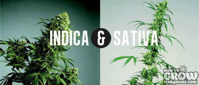 Indica and Sativa Phenotypes