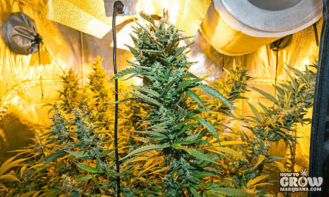Marijuana Plants in Grow Tent - Flowering Stage