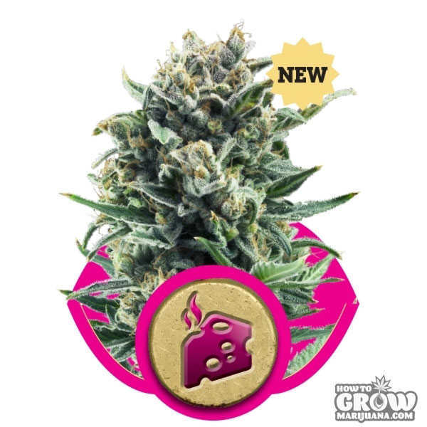 Royal Queen Blue Cheese Feminized Seeds