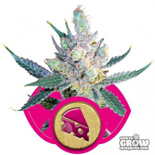 Royal Cheese Feminized Seeds
