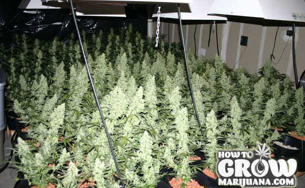 Sea of Green Growing Cannabis