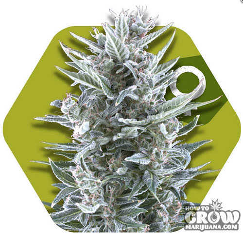 Zambeza Blueberry Feminized Seeds