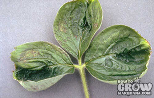 Boron deficiency swirling
