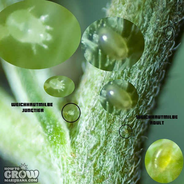 Broad mites cannabis