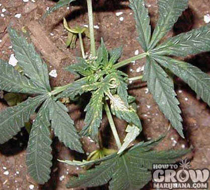 Copper deficiency marijuana