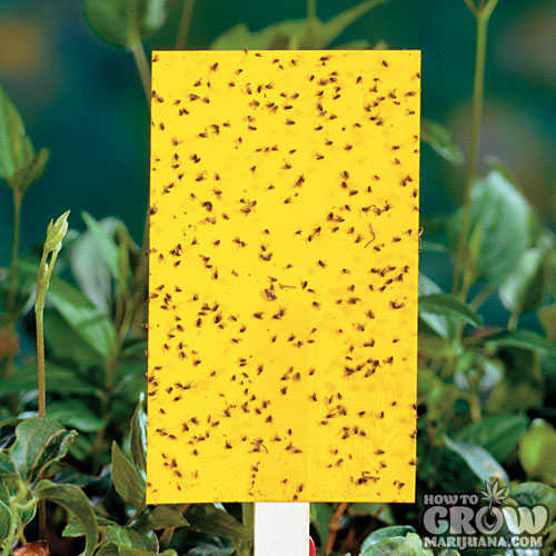 Fungus gnats yellow traps