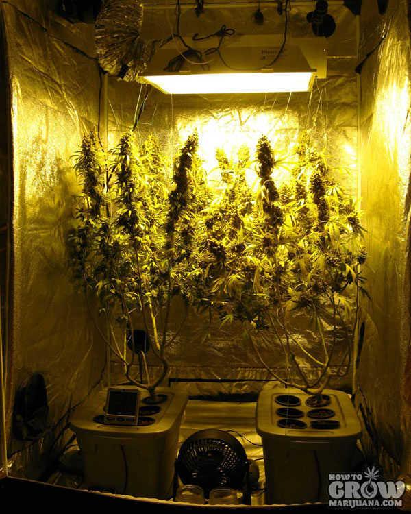 Marijuana Grow Room Temperature