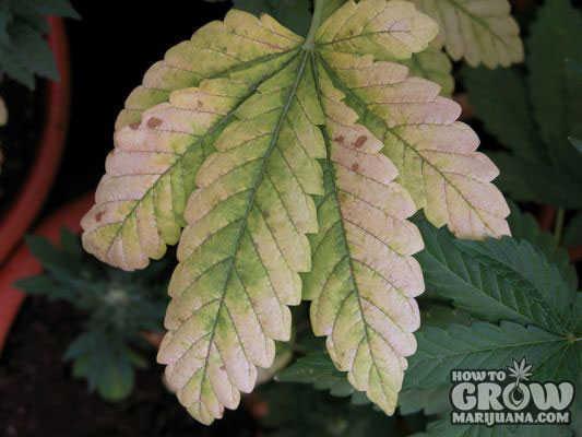 Marijuana Leaf Symptoms And Nutrient Deficiencies – Sick ...