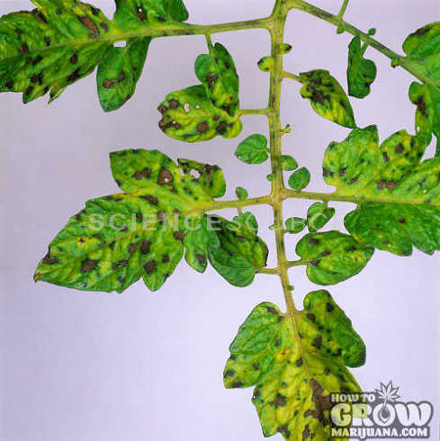 Manganese deficiency marijuana brown spots