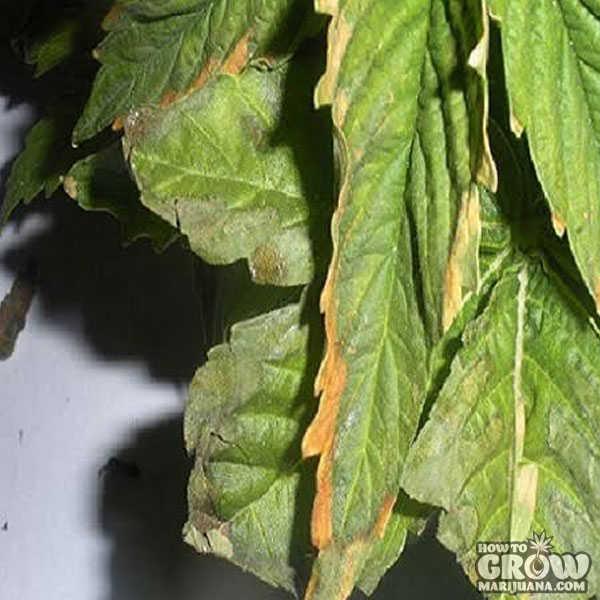 Marijuana Leaf Symptoms And Nutrient Deficiencies Sick