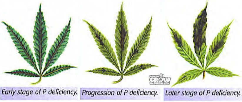Phosphorus deficiency marijuana progression