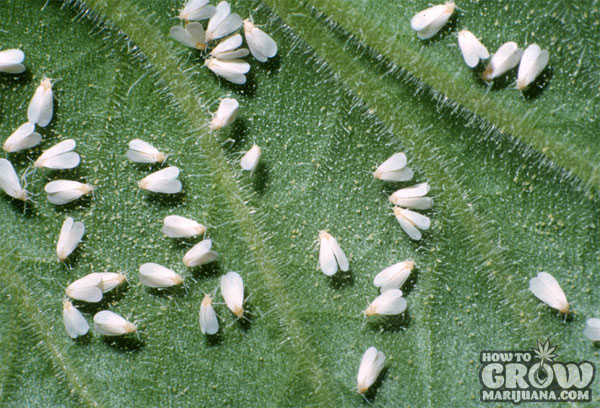 Whiteflies pest cannabis