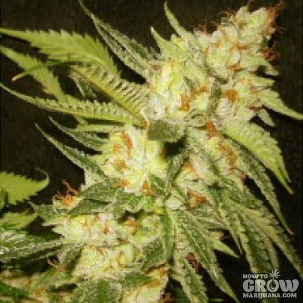 Sour Diesel Seeds - BIG REVIEW - Cali, Greenhouse, Royal ...