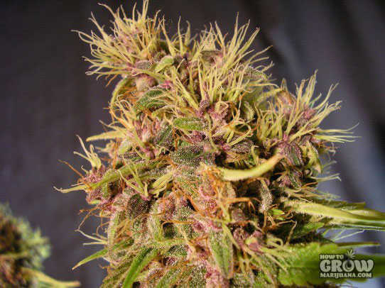 Dutch Passion Mazar Feminized Seeds