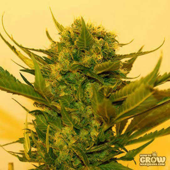 Hortilabs Sour Power Seeds