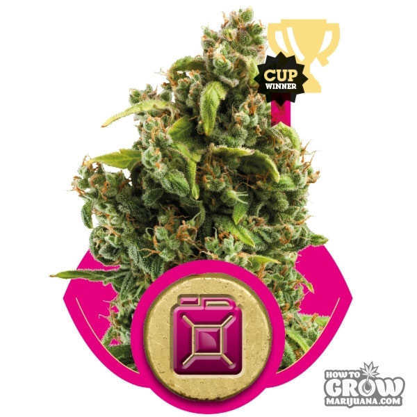 Royal Queen Sour Diesel Feminized Seeds