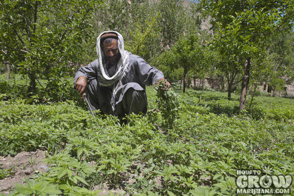 kush marijuana afghansitan pakistan farmer
