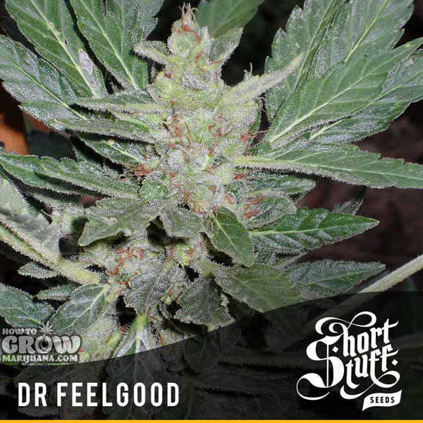 marijuana-stealth-seeds-dr.feelgood