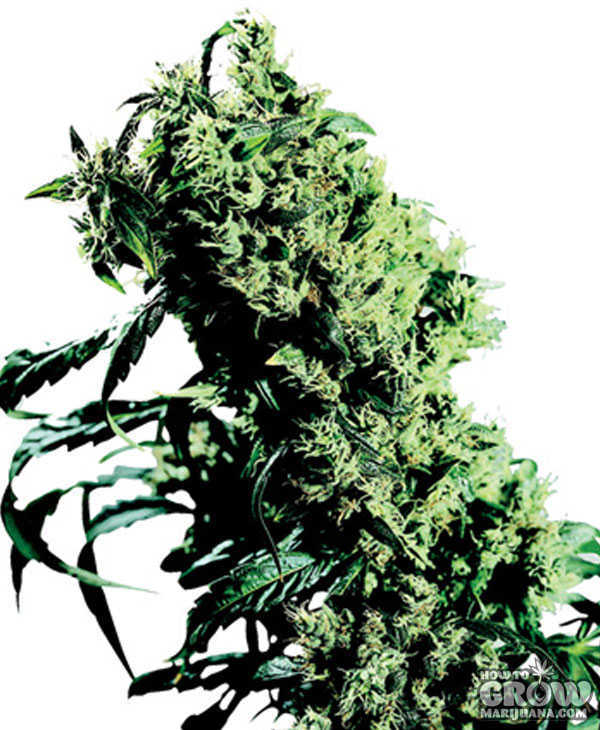 marijuana-stealth-seeds-northern-lights-haze
