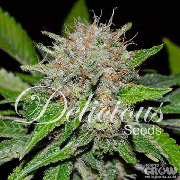 Delicious – Deep Mandarine Feminized Seeds