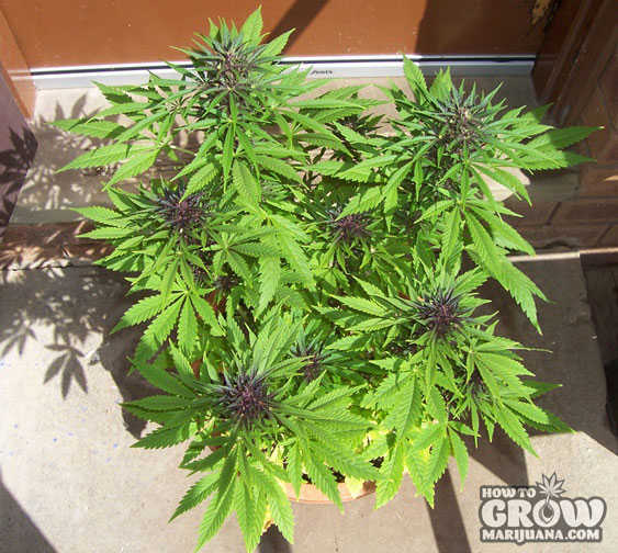 Best Outdoor Autoflowering Feminized Cannabis Seeds