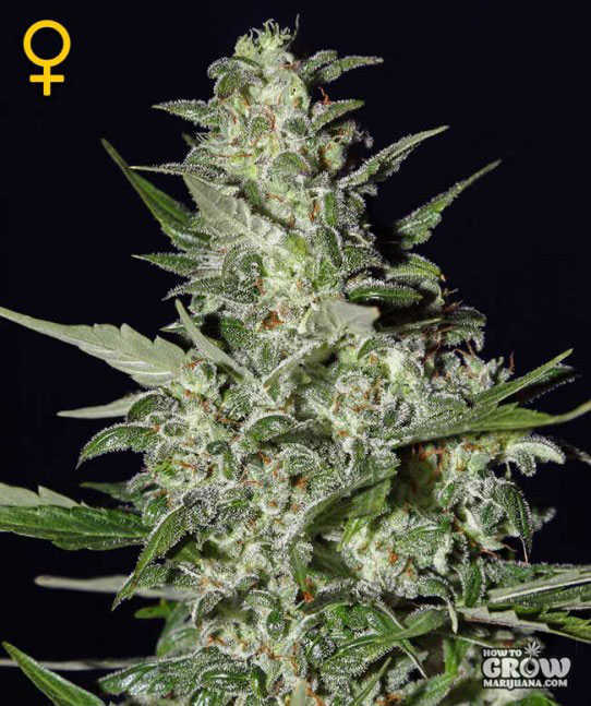 Best Outdoor Autoflowering Feminized Cannabis Seeds