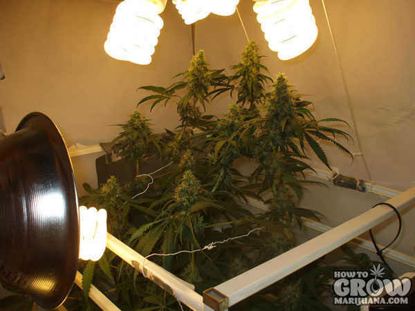 marijuana-grow-lights-cfl-grow-closet