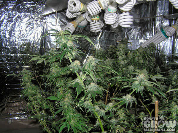 marijuana-grow-lights-cfl-grow-tents & Compact Fluorescent CFL Grow Lights