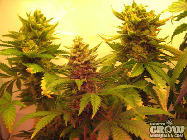 marijuana-grow-lights-flowering-stage