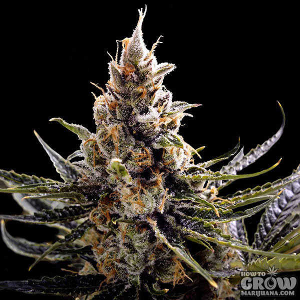 DNA Genetics – Kosher Tangie Feminized Seeds (AKA 24K Gold)