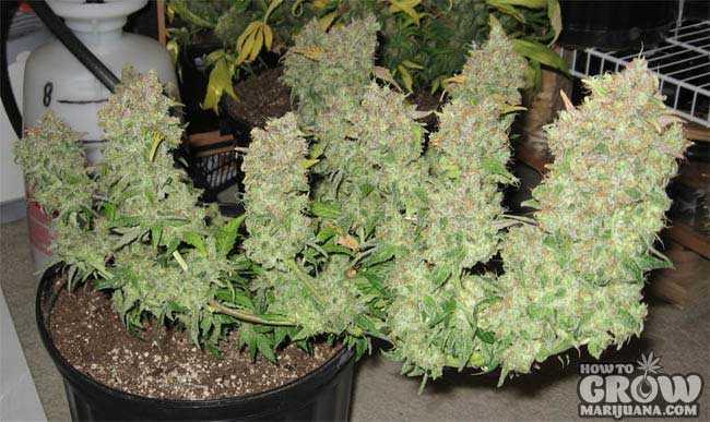 Graines de cannabis à haut rendement