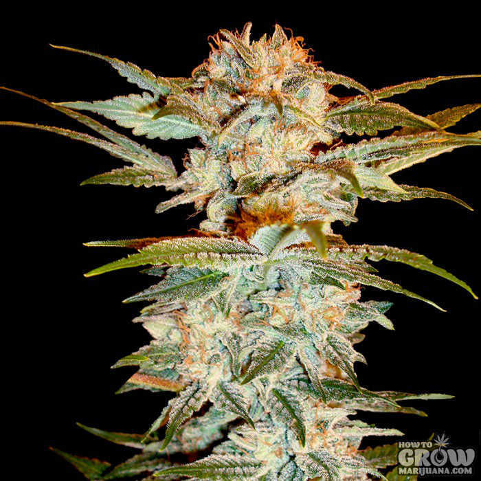 Dna Genetics Stacked Kush Feminized Seeds