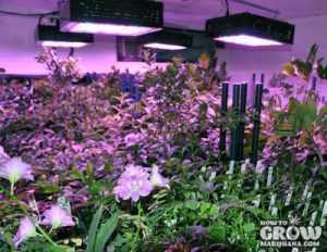Marijuana Vegetative Growth Pruning