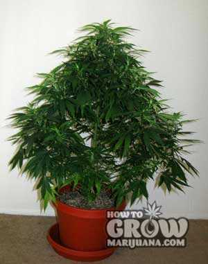 Marijuana Vegetative Growth Pruning