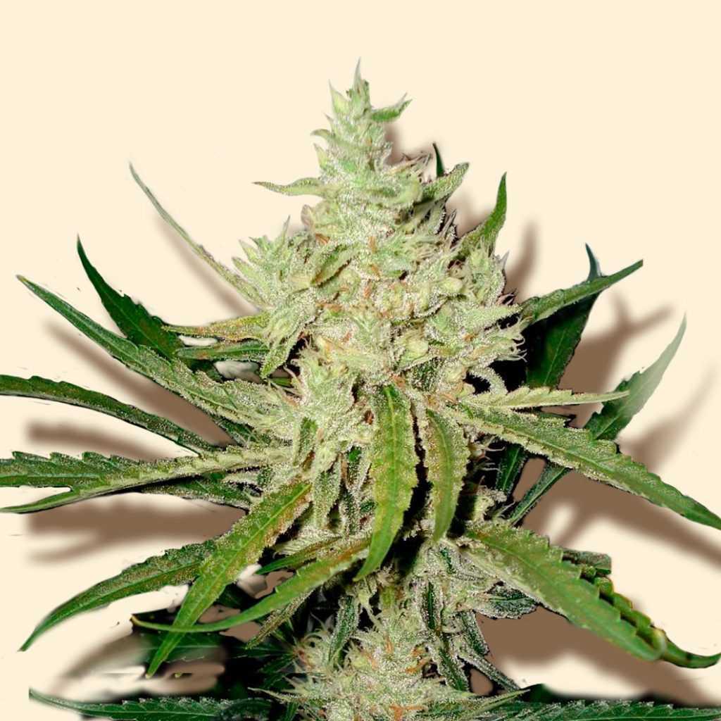 amnesia vip strain