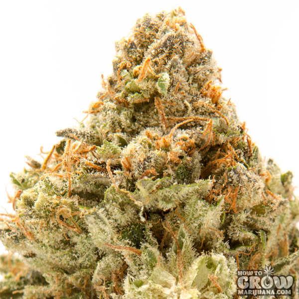 el-perro-cannabis-strain