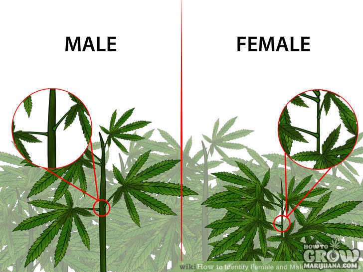 female-male-marijuana-plant-comparison
