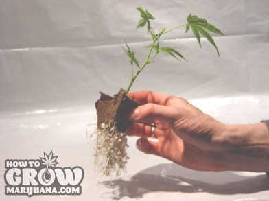 marijuana-transplanting-seedlings
