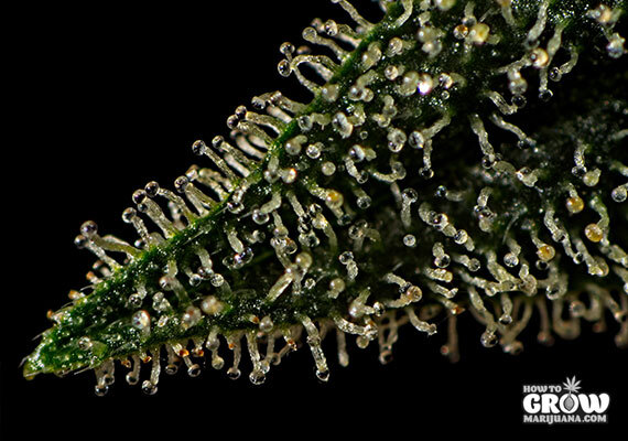 Ready to harvest trichomes
