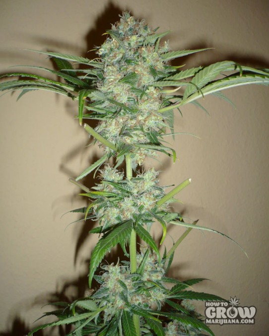Dutch Passion – Super Haze Feminized Seeds
