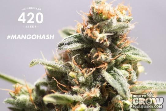 420 – Mango Hash Seeds