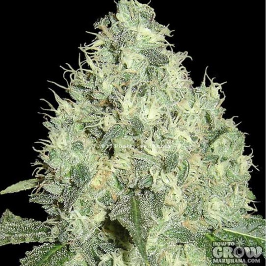 DNA Genetics – 91 Krypt Feminized Seeds