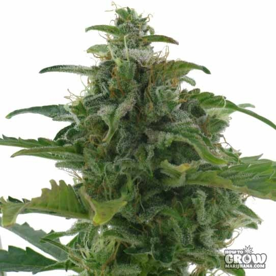 AC Genetics – Low Diesel Feminized Seeds