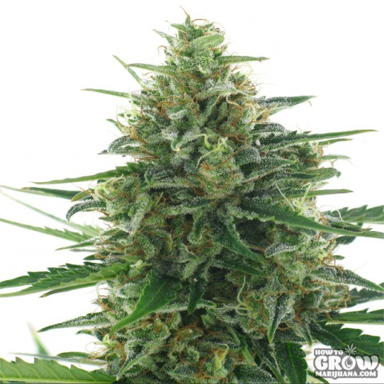 AC Genetics – White Express Seeds