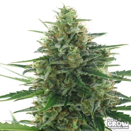 AC Genetics – White Express Seeds