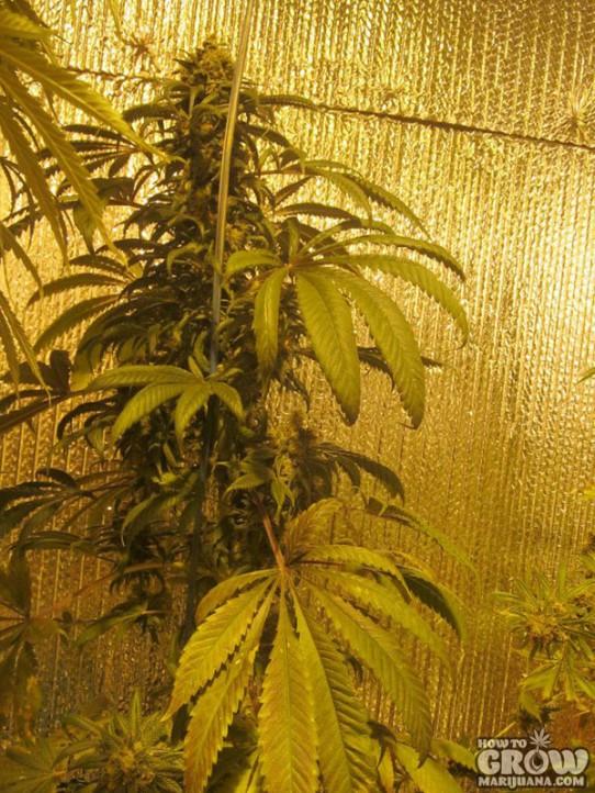ACE – Bubba Kush X Hashplant Feminized Seeds